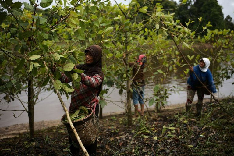Kratom's Role in Indonesia's Environment and Economy